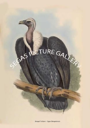 Bengal Vulture - Gyps Bengalensis